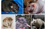 Rat soorten
