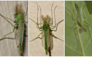 Green Bell Mosquitoes (Dergun Mosquitoes)