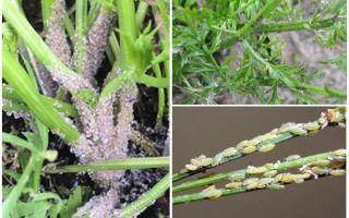 Hoe zich te ontdoen van bladluizen op wortels