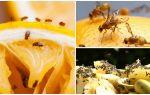 Hoe zich te ontdoen van fruitvliegen in de keuken winkel en folk remedies