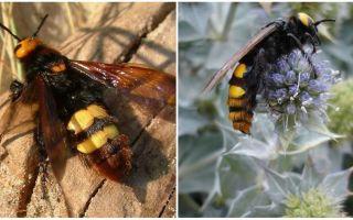 Beschrijving en foto's van gigantische wespen