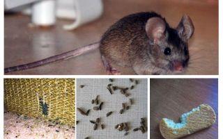 Hoe om te gaan met muizen in het appartement