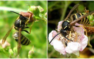 Beschrijving en foto van een wesp