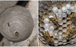Hoe en welke wespen nestelen