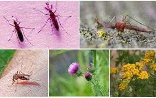 Wat mannetjes en vrouwelijke muggen eten