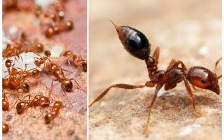 Hoe zich te ontdoen van kleine rode mieren in een appartement