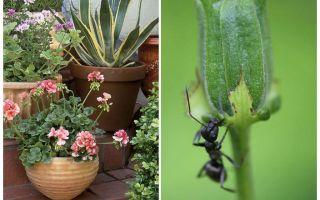 Hoe mieren uit een bloempot te verwijderen