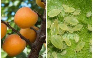 Hoe zich te ontdoen van bladluizen op abrikoos