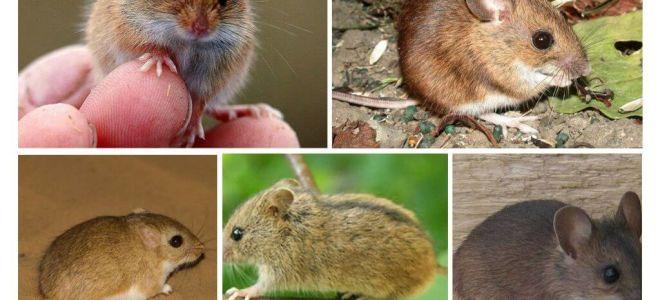 Soorten en soorten muizen