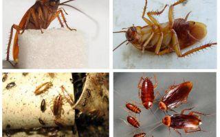 Rode kakkerlak prusak en hoe zich te ontdoen van