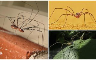 Spin maaien met lange dunne benen
