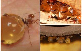 Honing mieren