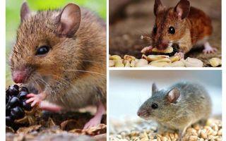 Wat muizen eten