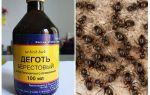 Berkenteer van mierenapplicatie in de tuin en tuin