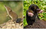 Hoe een feeks te onderscheiden van een mol