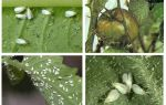 Methoden voor het omgaan met witte vlieg op tomaten in de kas