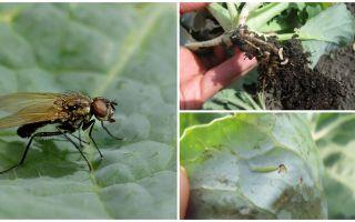 Hoe om te gaan met een koolvlieg en zijn larven