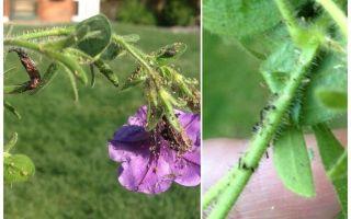 Hoe om te gaan met bladluizen op petunia's folk en winkelen betekent