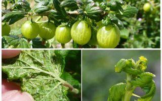 Hoe zich te ontdoen van bladluizen op kruisbes