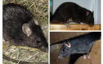 Zwarte ratten