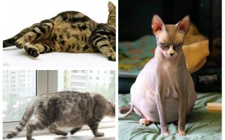 Hoe vlooien van een zwangere kat te verwijderen