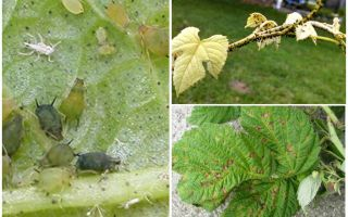 Hoe zich te ontdoen van bladluizen op frambozen