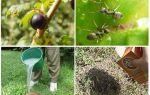 Hoe om te gaan met mieren en bladluizen op krenten