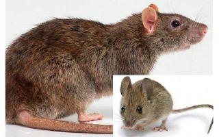 Wat is het verschil tussen een muis en een rat?