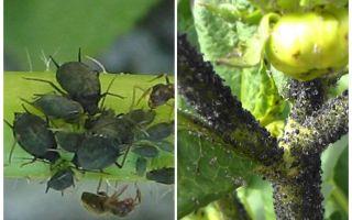Hoe om te gaan met zwarte bladluizen op tomaten en komkommers