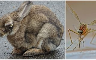 Hoe konijnen te redden van muggen op straat en in de konijnen