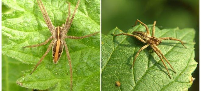 Beschrijving en foto's van de spinnen van de regio Saratov