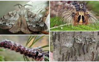 Beschrijving en foto van een rups en een vlinder van de Siberische zijderups