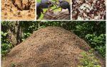 Het leven van mieren in een mierenhoop
