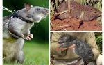 De grootste ratten ter wereld