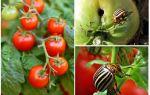 Hoe tomaten van de Coloradokever te verwerken