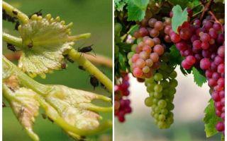 Hoe om te gaan met bladluizen op druiven folk en winkelen betekent