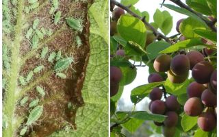 Hoe en wat om bladluizen op pruimen te verwerken