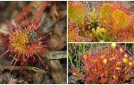 Naam, beschrijving en foto van de plant die vliegen eet