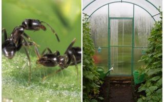 Hoe om te gaan met mieren in de folk remedies in de kas