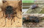 Beschrijving en foto van een blauwe vleesvlieg
