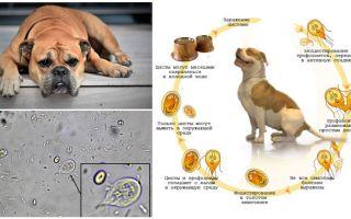 Symptomen en behandeling van Giardia bij honden