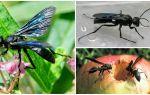 Beschrijving en foto van zwarte wespen