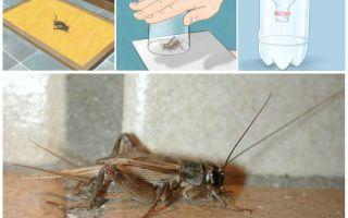 Hoe krekels uit een appartement of huis te halen