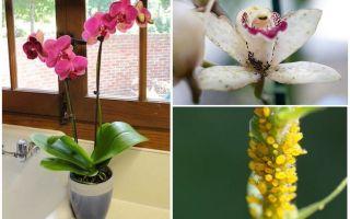 Hoe om te gaan met bladluizen op orchideeën