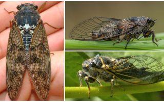 Beschrijving en foto's van cicadavliegen