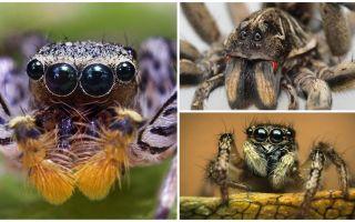 Hoeveel ogen heeft een spin?
