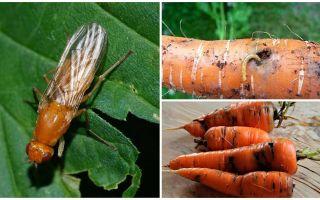 Hoe zich te ontdoen van wortelvliegen