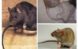 Waarom doen ratten het niet