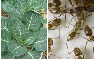 Hoe kool van mieren te redden