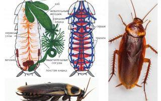 De structuur van de kakkerlak - extern en intern